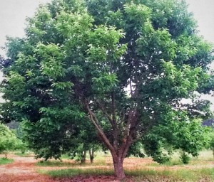 wildlife_group_chinese_chestnut_tree